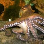octopus-500x427
